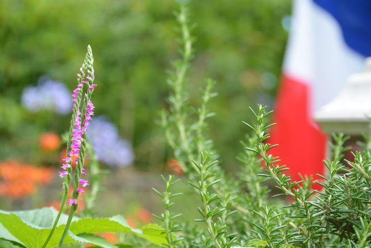 お庭にネジバナが、いつも雑草扱いで引いていますが、 仲良く2本咲いていたので見守ることに暫く楽しませてもらいます♪ #花 #ネジバナ #ガーデン