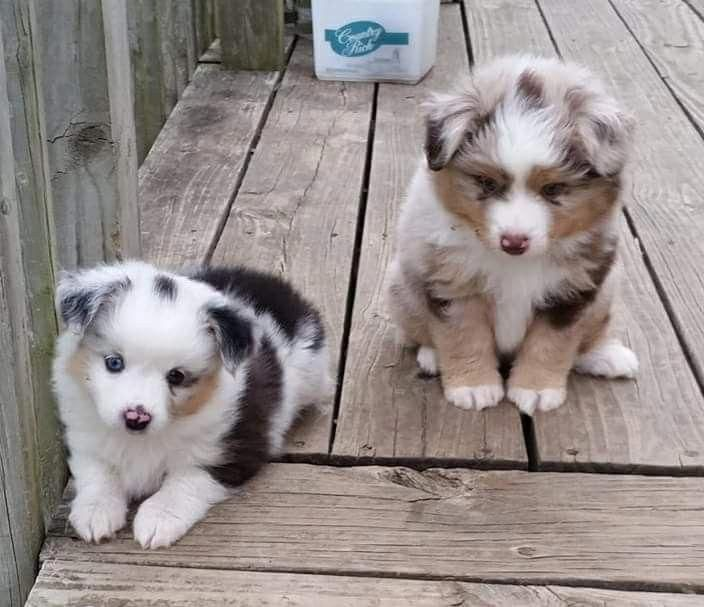 Things We Love About The Work Oriented Australian Shepherd Pups