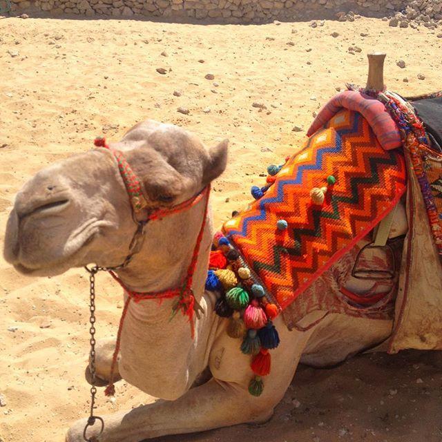📸: hanging out with some of the locals 🐪😍 www.thegirlswhowander.com #thegirlswhowander #egypt #ancientegypt #traveltalktours #camel #cairo #saycheese #photography #picoftheday #photooftheday #girlsborntotravel #backpacker #LiveIntrepid #wannagohere #passportcollective #instatravel #photooftheday #picoftheday #travel #blogoftheweek #linkinbio