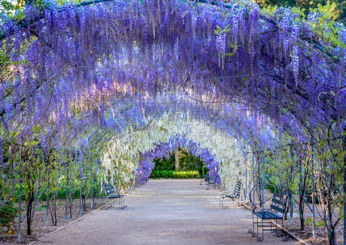 The Wisteria Tunnel at Adelaide Botanical Gardens. Photo: Kate Strauss.