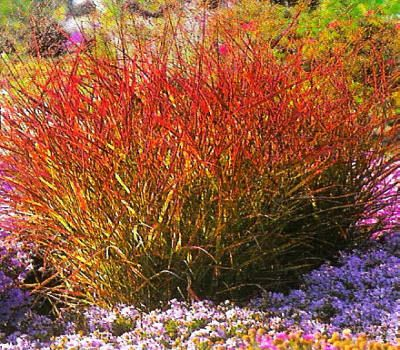 111 best images about ornamental grass ideas on pinterest for Perennial grasses red
