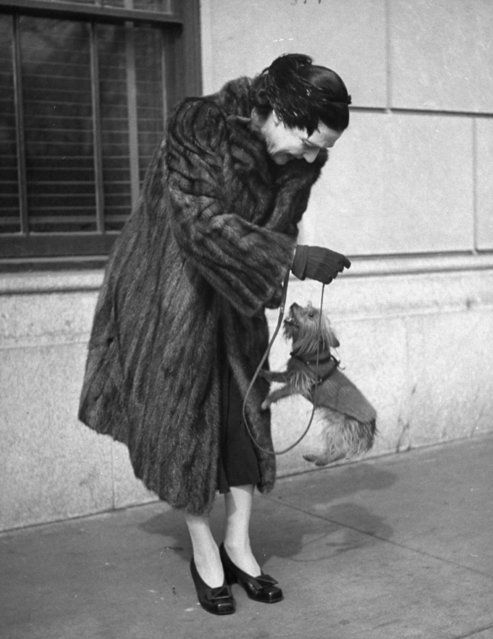 Author Fannie Hurst clad in mink coat, enjoying the jumping antics of her Yorkshire terrier Orphan Annie on the street. (Photo by Nina Leen/Pix Inc./The LIFE Picture Collection/Getty Images)