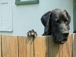 Peek-a-boo! #great #dane #dog hey! What ya doing over there?