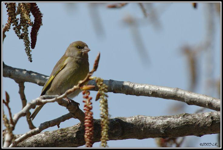 Verdier d'Europe - Carduelis chloris (European greenfinch / Grünling / Verdone) 00-00-0000