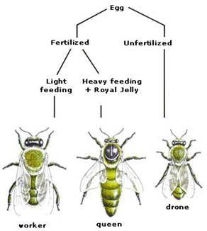 Drone bee vs worker bee - photo#18