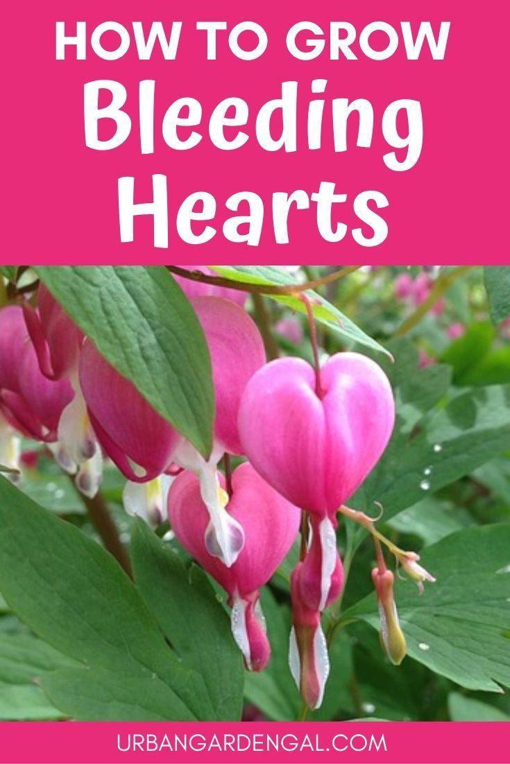 The Best Tips On Growing The Bleeding Flower Heart Lamprocapnos Flower Heart Flower Garden Care Bleeding Heart