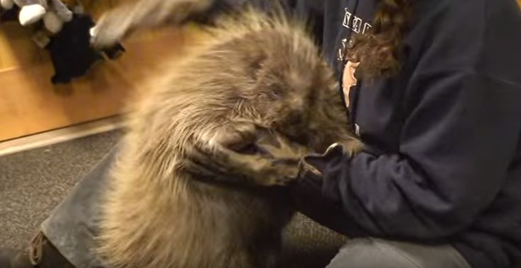 Some of the funniest videos that we see online are of animals who think they are dogs it is just hilarious! Like the absolutely adorable porcupine in this video who thinks he s a puppy! Ladies and gentlemen meet the cutest prickly creature on the planet! This cute little guy just loves to cuddle loves belly rubs and loves to The post MEET The Most Adorable PORCUPINE On The Planet WHO Also Thinks He s A PUPPY!! appeared first on Cutest Animals in
