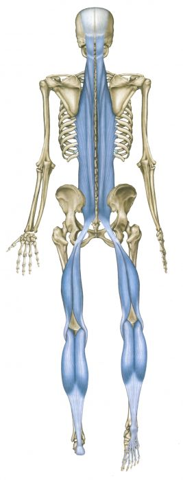 The superficial back line of fascia connects us from toes to eyebrows, so great globally for spinal problems - Osteopathy