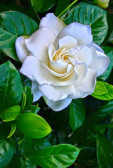 We love, love, love, the simple and sophisticated structure of the beautiful gardenia flower and it's amazing fragrance. It is a family favorite as well - loved by our mom!