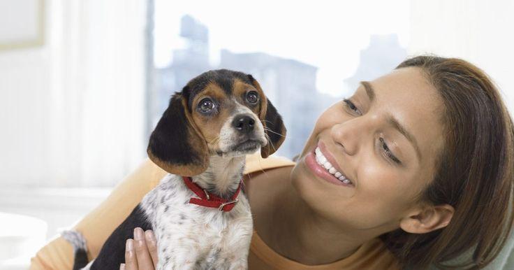 Como dar banho em um filhote de beagle. Embora você possa pensar que o cheiro doce do seu novo cachorro beagle irá durar para sempre, ele eventualmente irá precisar de um banho. Ao iniciar um cronograma de banho regular quando o seu beagle é jovem, ele irá se acostumar com banhos e poderá ainda desfrutar da atividade. O Beagle Pro, um site que oferece conselhos de especialistas em ...