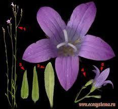 Картинки по запросу колокольчик строение цветка