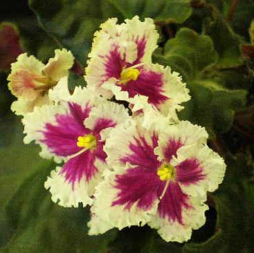 African Violet: Saintpaulia 'Firebird' [Family: Gesneriaceae] - Ultra Violet…
