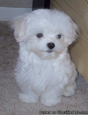 Maltese puppies have arrived! - Classified Ad