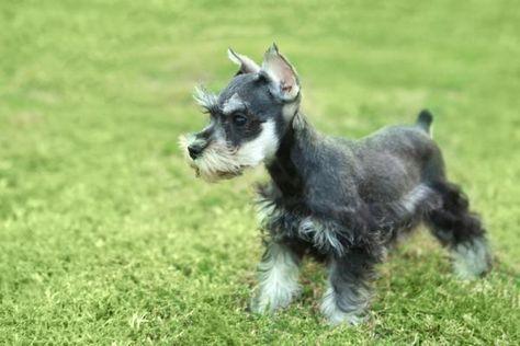 Cortes de pelo para un schnauzer mediano. Los schnauzer son perros muy cariñosos que poseen una gran belleza. Tienen una característica