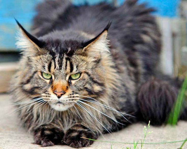 Piękne rasowe koty