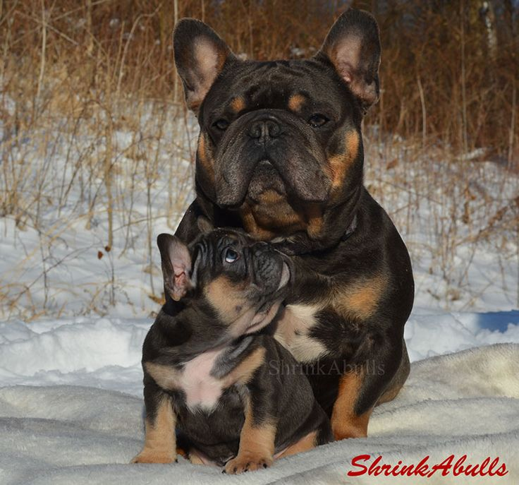 french bulldog bulldog french french bulldog pictures bulldog ... White Baby French Bulldog