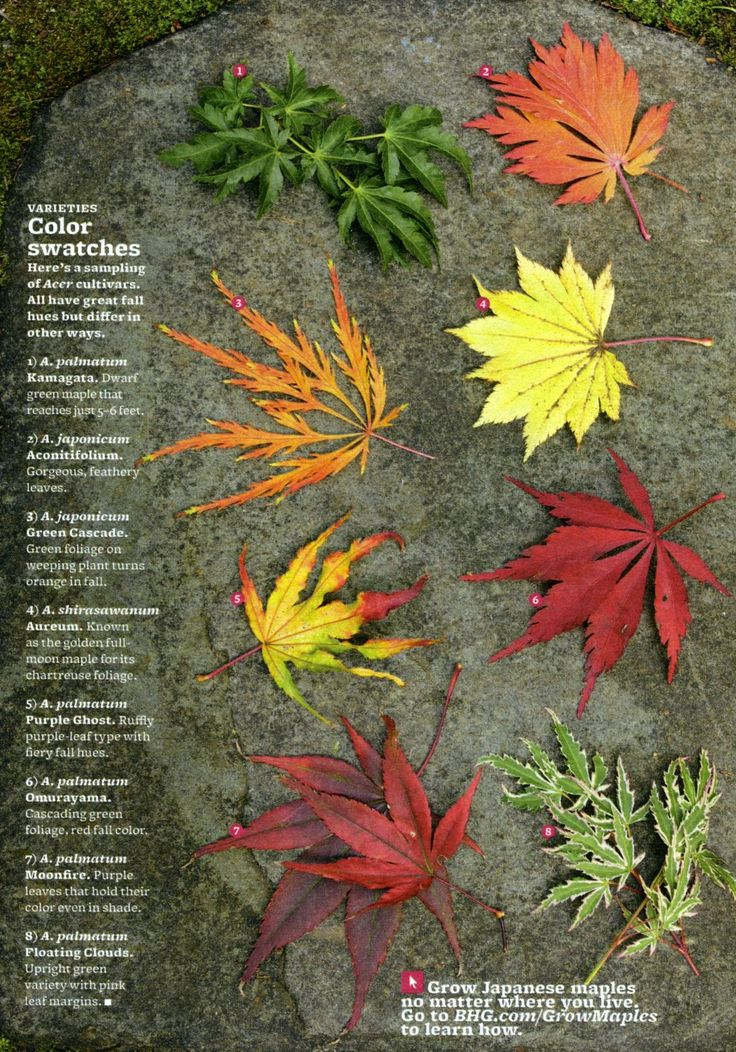 Different types of Japanese maples