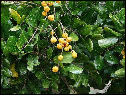 tuckeroo  Cupaniopsis anacardioides  hardy, coastal tree; dense rounded crown of leathery, deep green foliage; masses of orange capsules