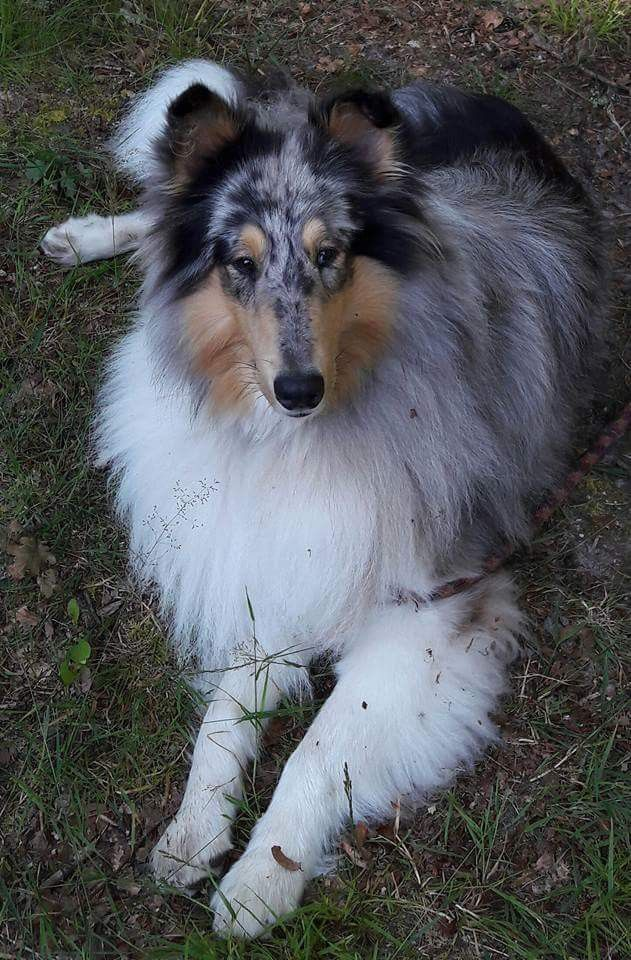 Rough Collies And Shelties Image By Clark Merril Rough Collie