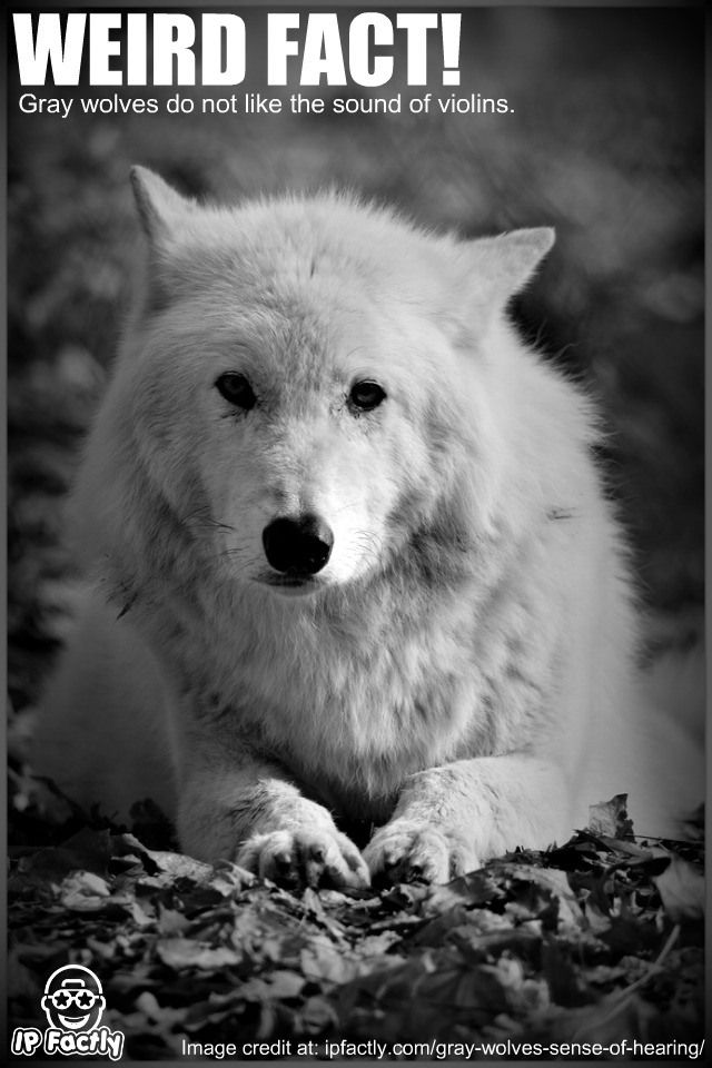 Attitude Quotes Wallpaper Hd Gray Wolves Do Not Like The Sound Of Violins Cool And