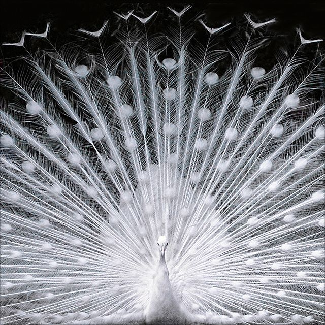 """""""Lace,"""" by Dragan*, via Flickr. -- Beautiful white peacock."""
