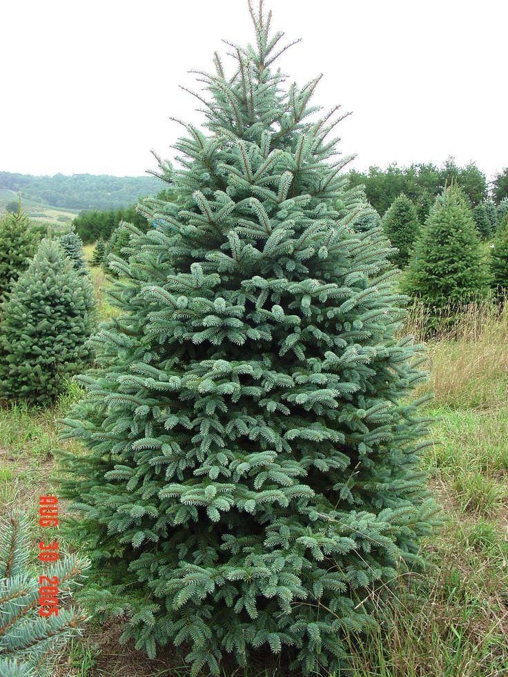 Colorado Spruce Colorado Blue Spruce Evergreen Tree