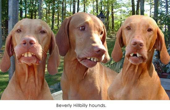 Beverly Hillbilly hounds