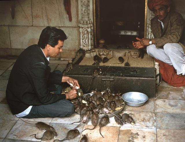 Der Rattentempel von Deshnok (Indien), 1994 - 13, via Flickr.