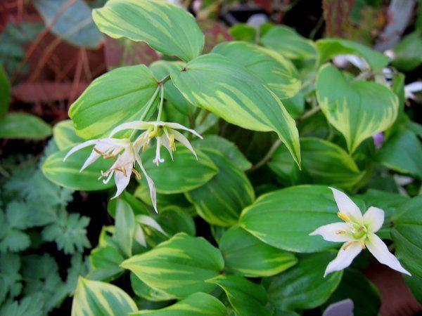 Disporum smilacinum 'Ki-no-tsukasa'