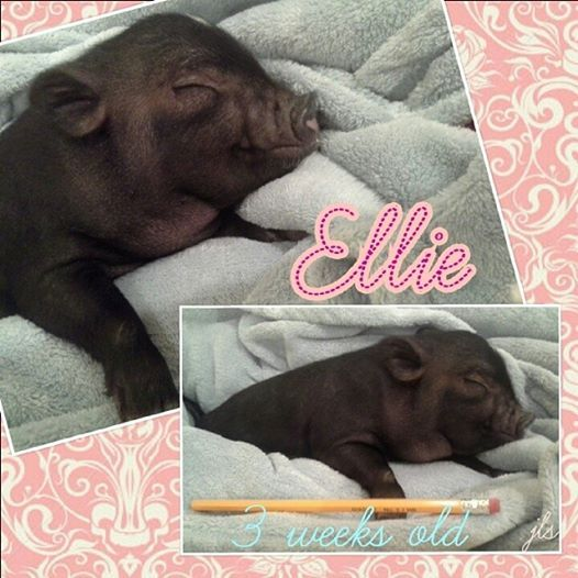 3 week old mini potbelly pig