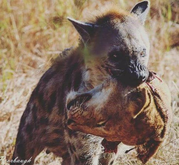 Complacency Kills   #Hyena #Lion #Africa #Wild #Animal #Instinct #Violent #Carnage #Blood #Head