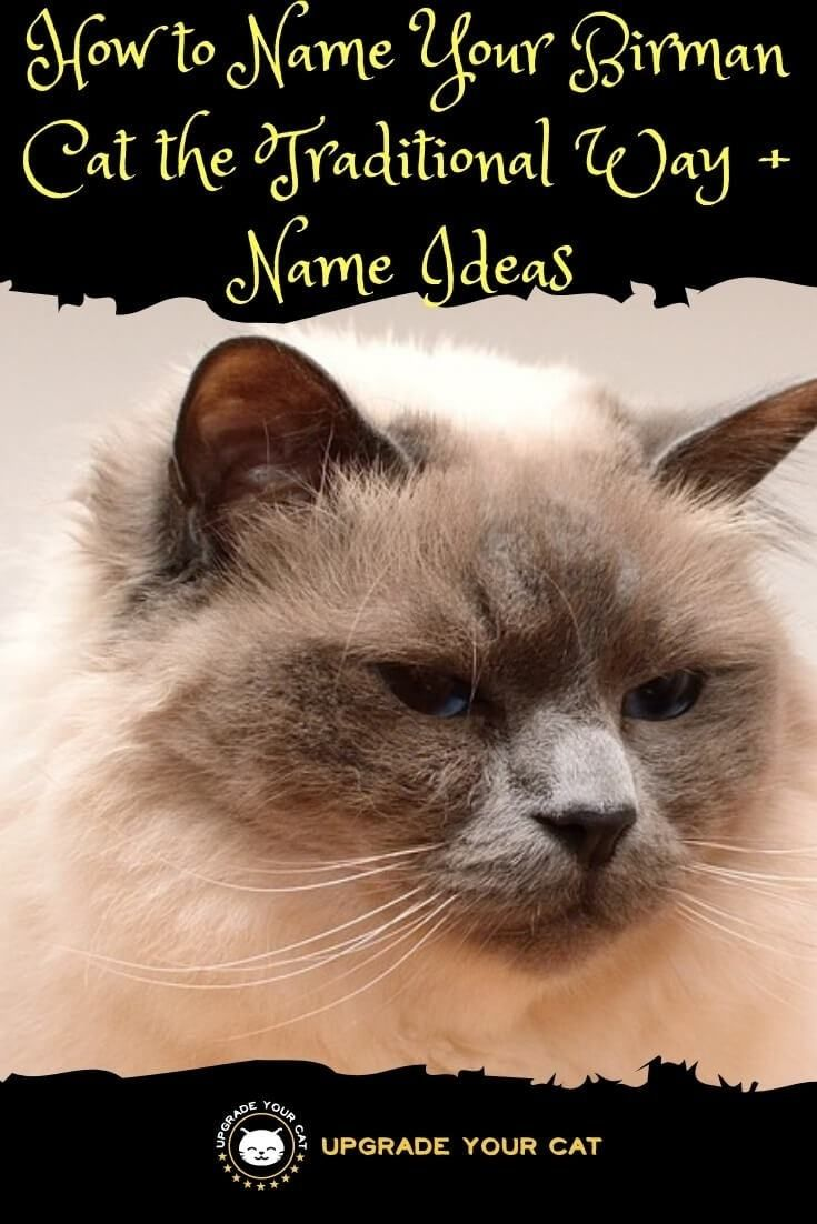 Traditional Birman Cat Names How To Name Your Birman The Traditional Way Upgrade Your Cat Birman Cat Girl Cat Names Cat Names
