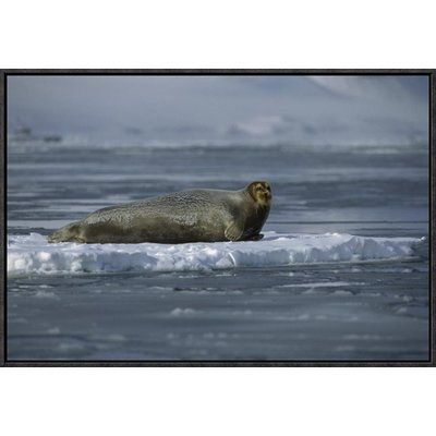 "East Urban Home 'Bearded Seal Resting on Ice Floe, Svalbard, Norway' Photographic Print Format: Black Framed, Size: 16"" H x 24"" W"