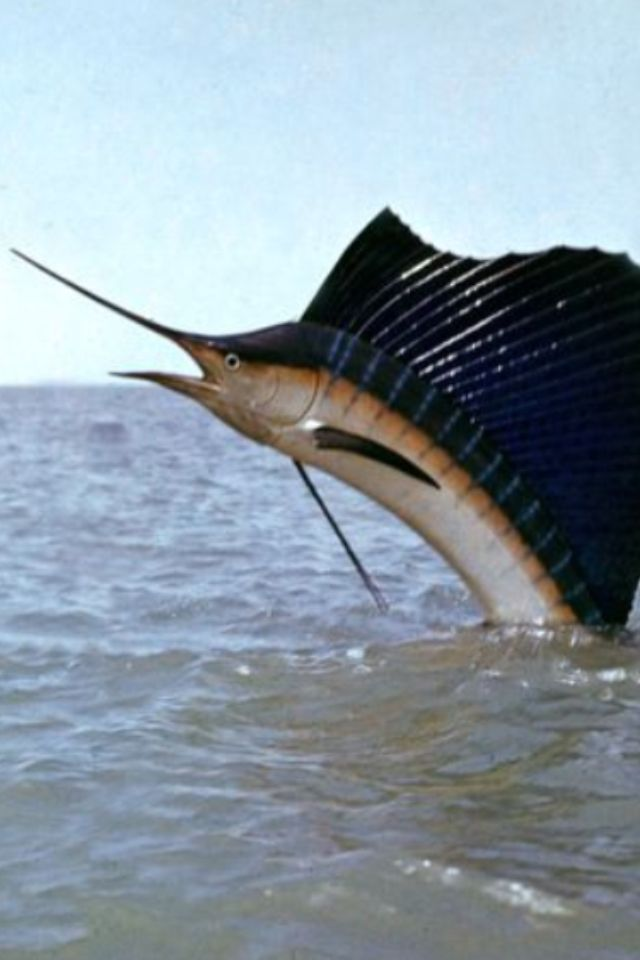 Blue marlin taking a peek at the oxygenated world...