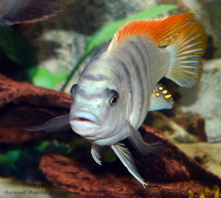 Lake malawi african cichlid for Lake malawi fish