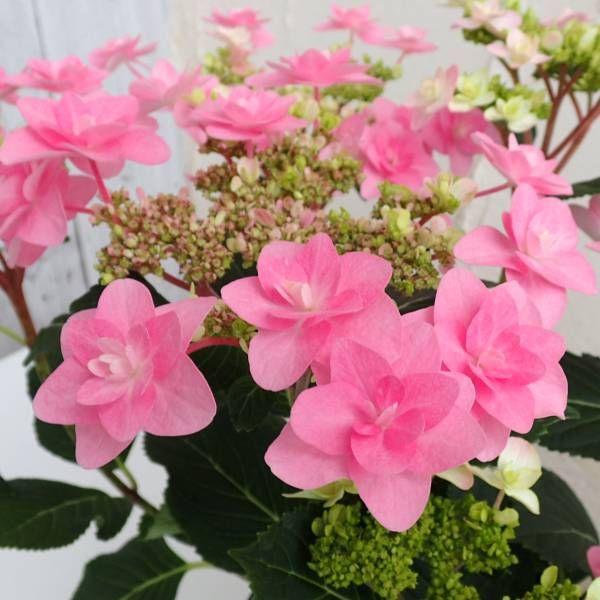 アジサイ:春よ恋(はるよこい)5号鉢植え:花木 庭木の苗 通販 engei.net