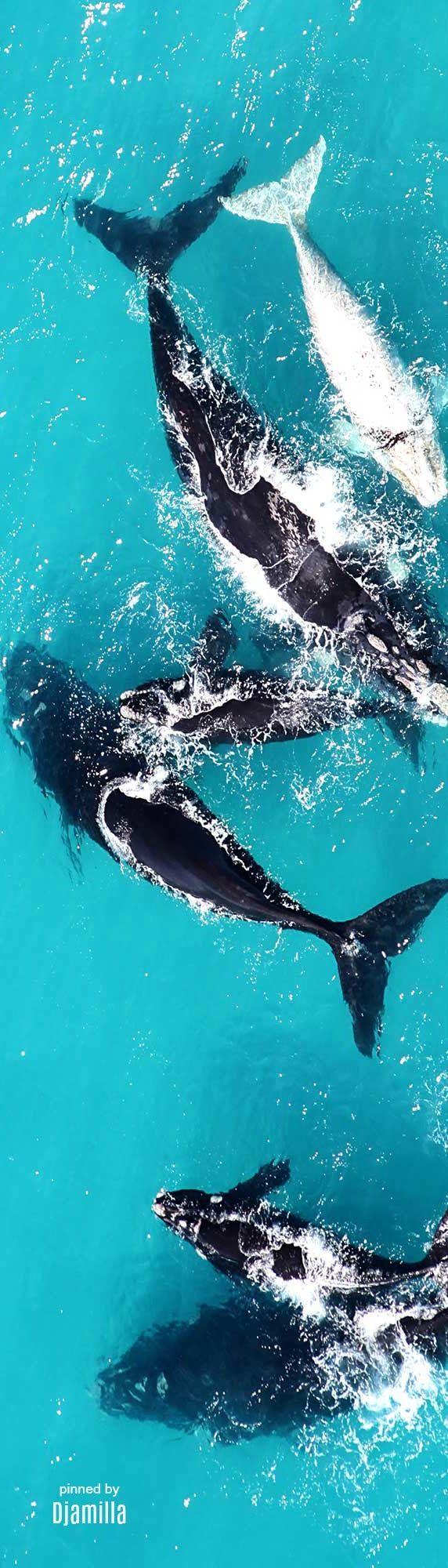 Whale Watching -Southern Right Whales Grootbos Private Nature Reserve