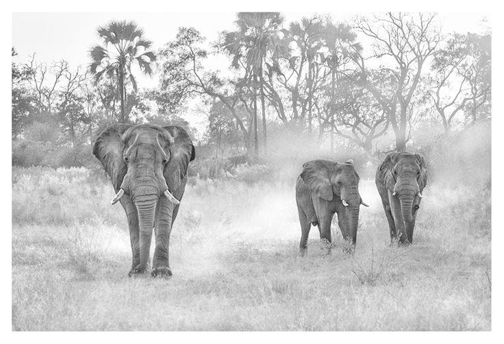 BW print of elephants kicking up dust