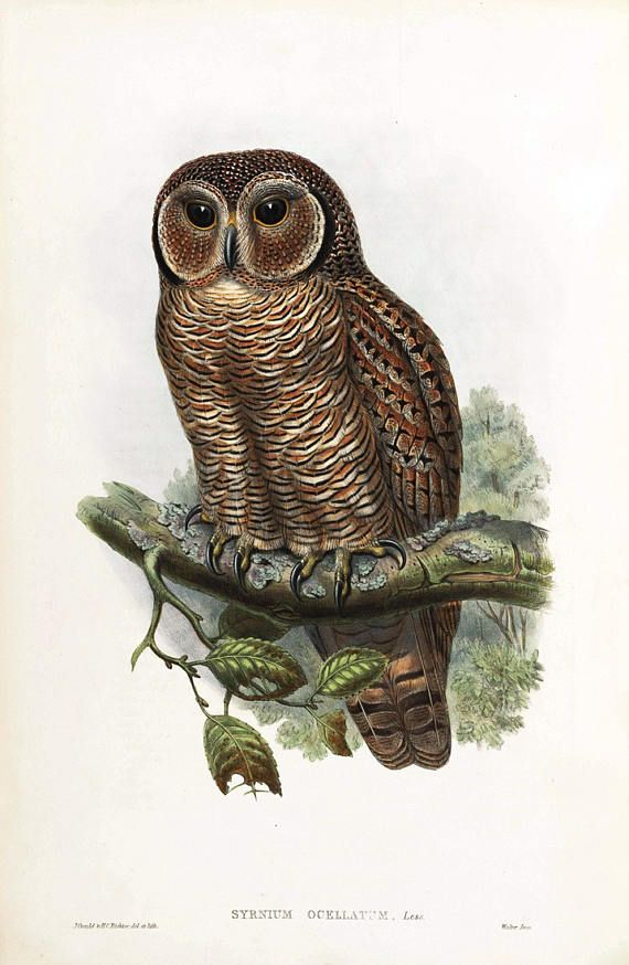 Gould Birds of Asia I-16 Speckled Wood-Owl Museum Quality