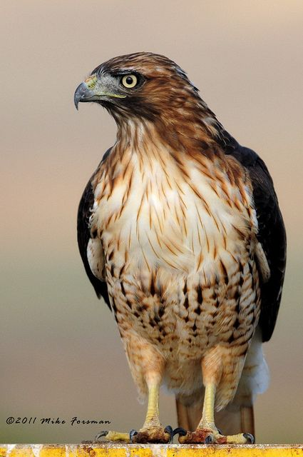 Red-tailed hawk - see them everyday flying over the neighborhood on their never ending search for food.