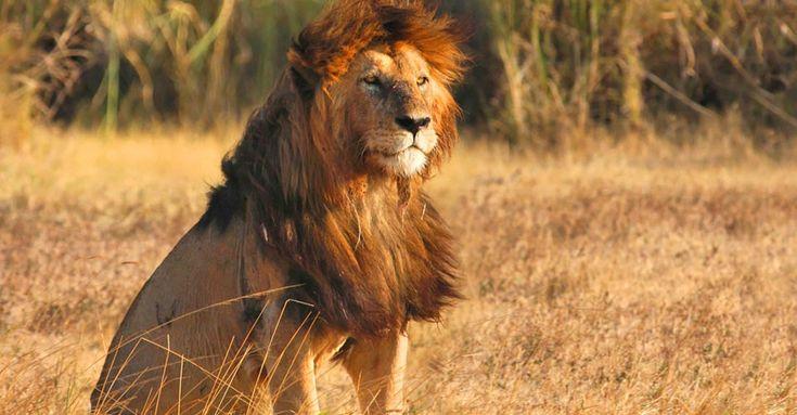 Maasai Lion, Serengeti National Park   African Photo Safaris   Natural Habitat Adventures