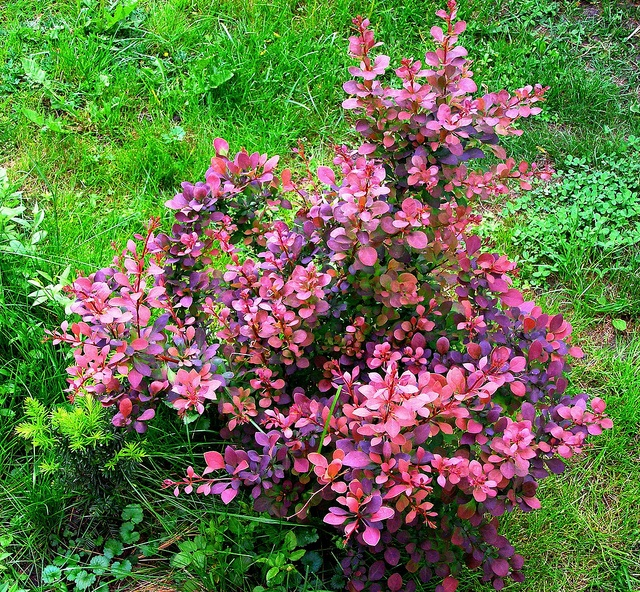 crimson pygmy barberry plants landscaping plants landscape on best rock garden front yard landscaping trends design ideas preparing for create id=98323