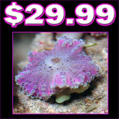 Pink Yuma (Ricordea Yuma) - Aquarium Depot