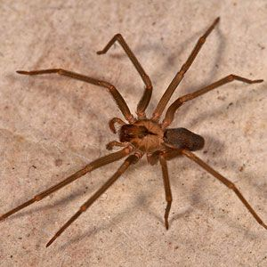 Brown reclusive spider are very reclusive and do not attack humans unless provoked. URL:http://wolfspider.org/