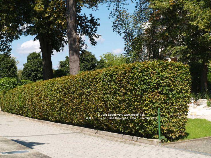 Hrab obyčajný - vhodný aj na živé ploty a tvarovanie) | Carpinus betulus