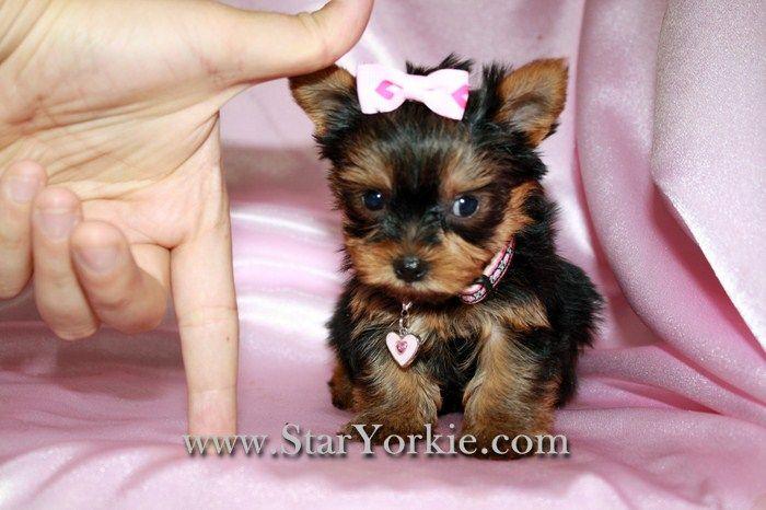 www'yorkies | Tiny Teacup Yorkies, Maltese, Pomeranians & Designer Breed Puppies for ...