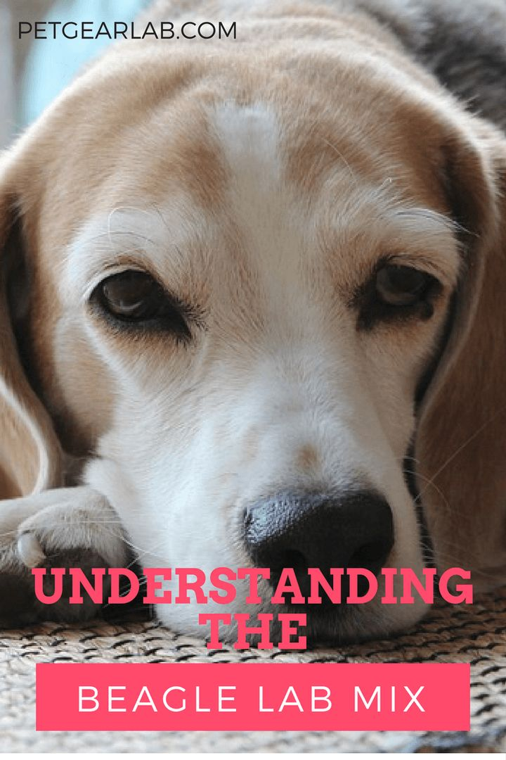 The Beagle Lab Mix: Understanding The Loving Nature Of The Beagador