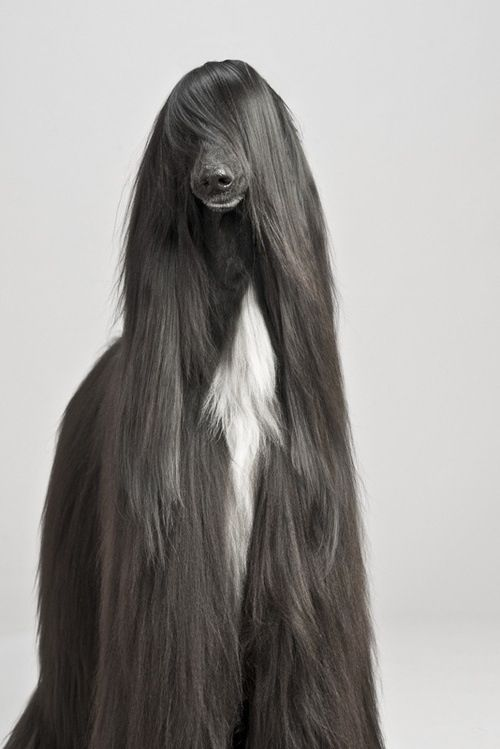 Afghan cut, if I ever come back by resurrection I want to be an Afghan hound