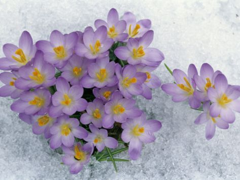 638 best early spring blooming springtime images on pinterest crocus flowering in the snow mightylinksfo Images