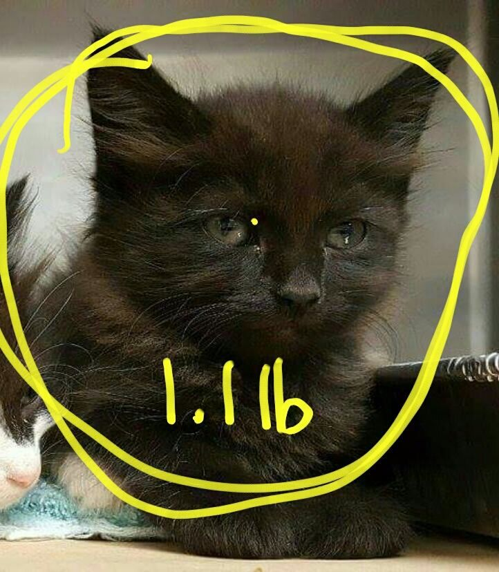 Young kitten, the victim of attempted spaying, now in the